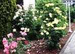 Rosen hier im Garten
