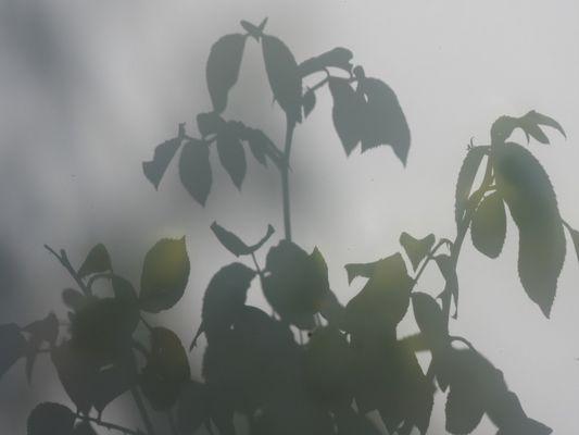 Rosen hinter einer Milchglasscheibe