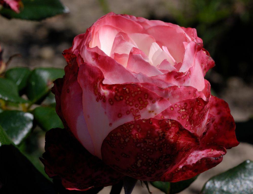 Rosen im Arboretum in Ellerhoop von Inge Brandt