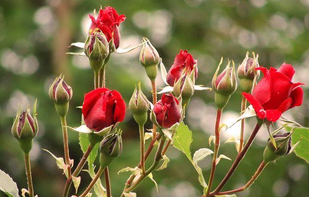 Rosen im Bauerngarten