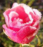 Rosen im Dezember :-)