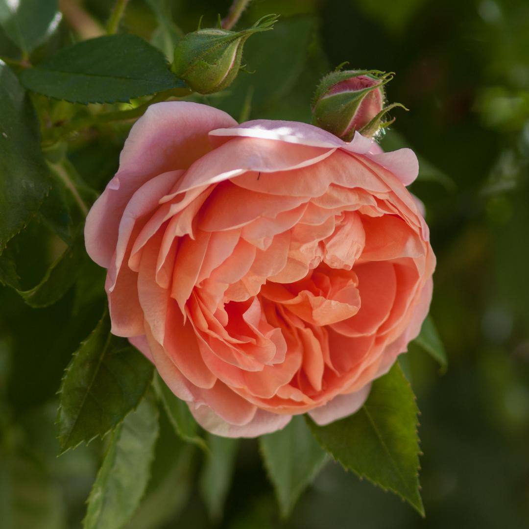 Rosen im Garten 1