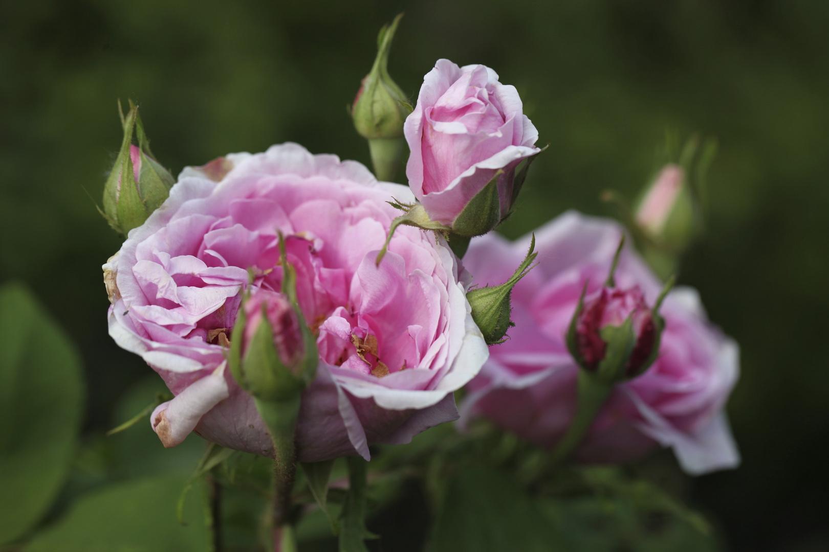 Rosen im Garten 2