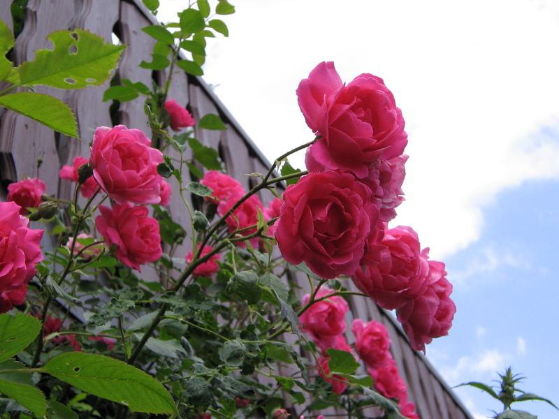 Rosen im Garten !!!!!!!!!!