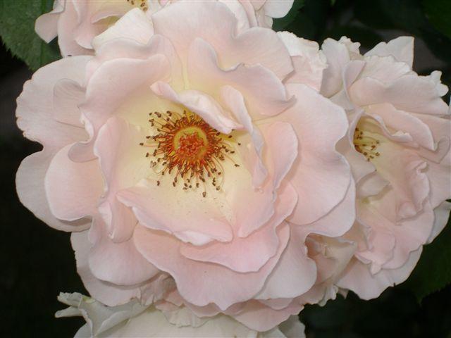 Rosen im Garten - erblüht