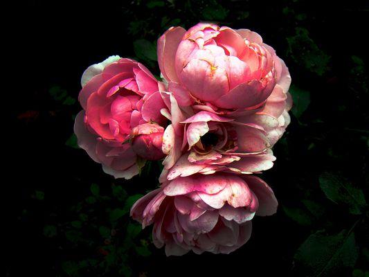 rosen im herbst ...