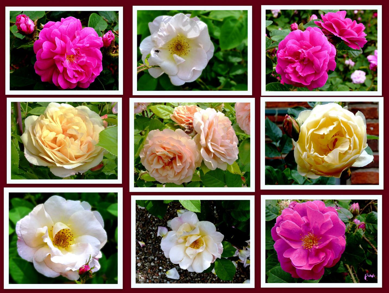 Rosen im Klostergarten