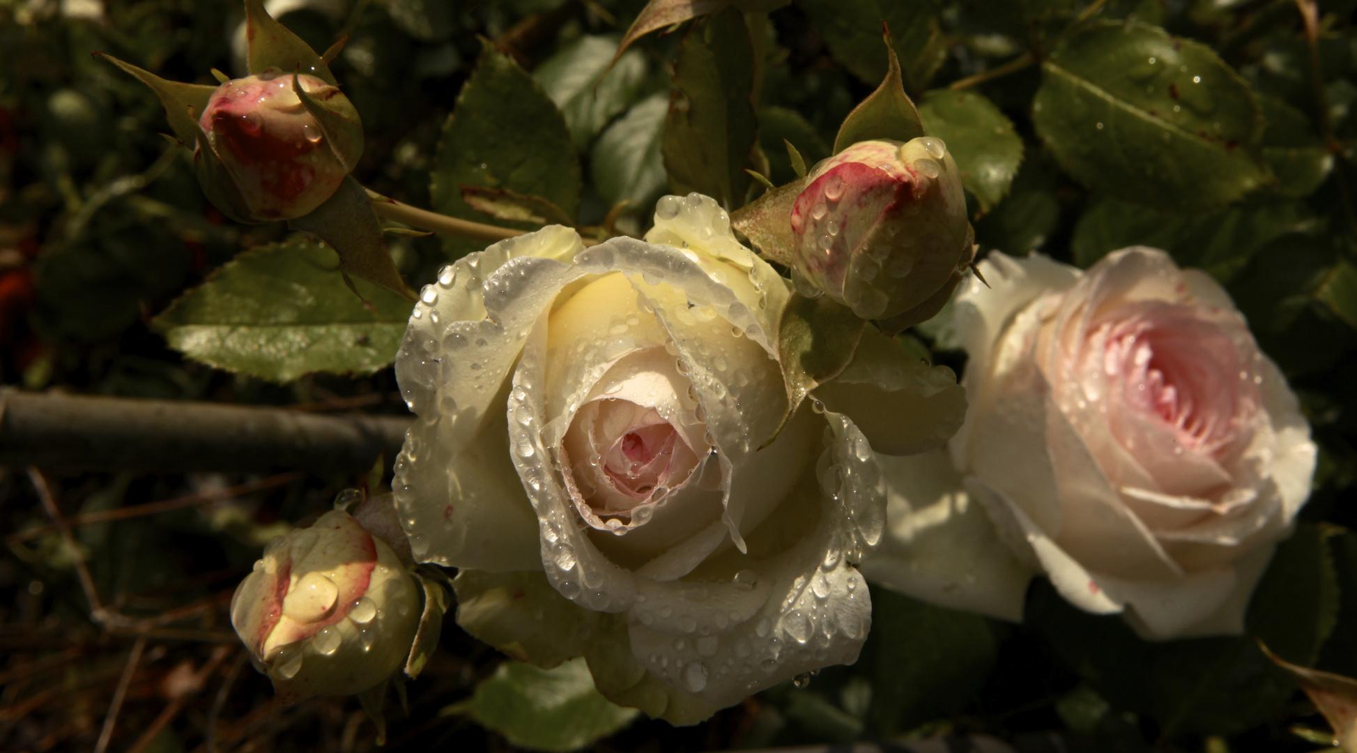 Rosen im Morgenlicht