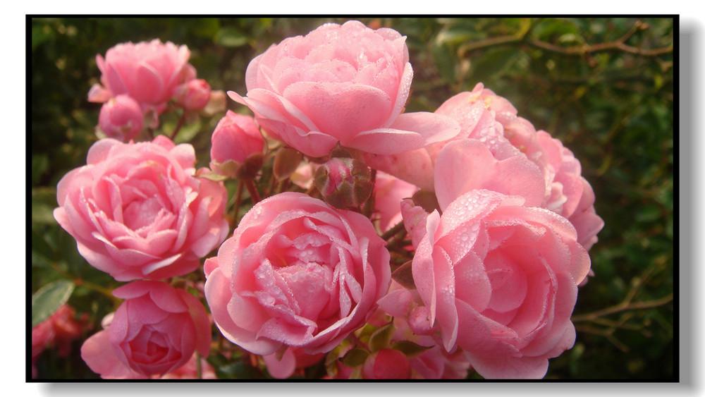 Rosen im Morgentau