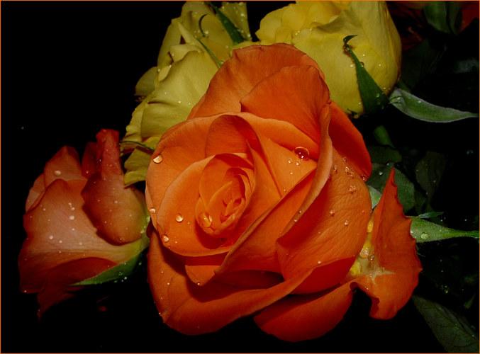 Rosen im Regen