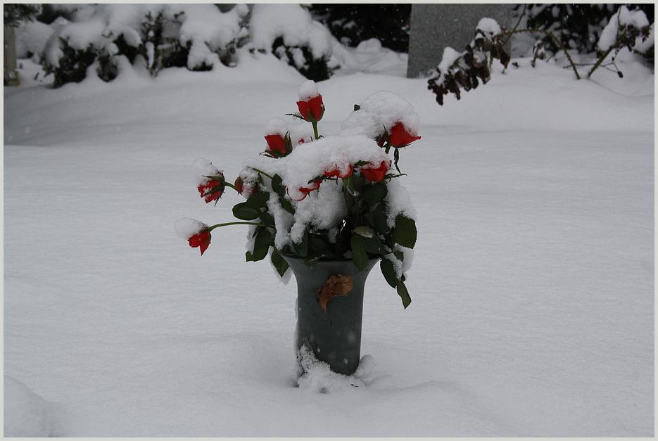 Rosen im Schnee