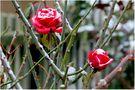 Rosen im Schnee von SYLKON