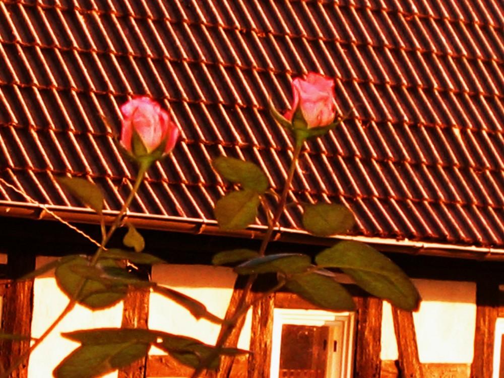 Rosen im Sonnenuntergang