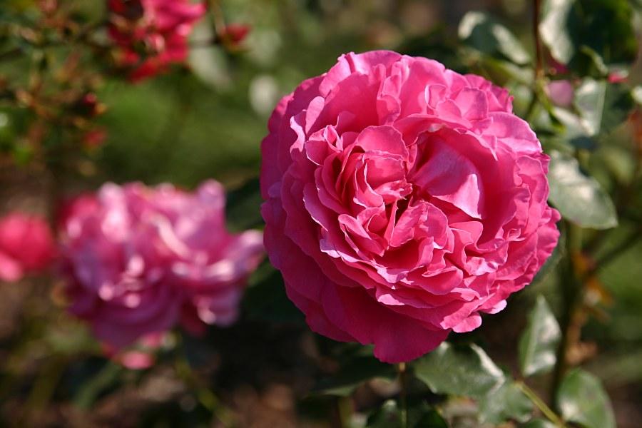 Rosen im Spätsommer