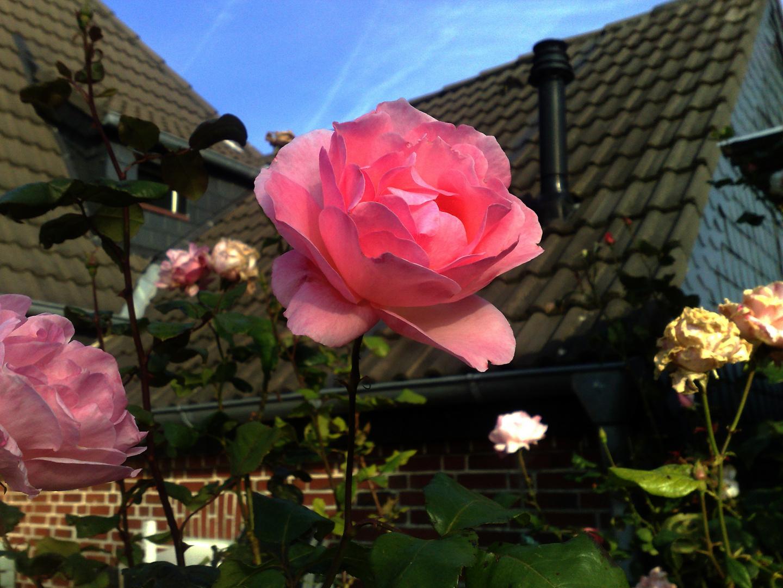 Rosen im Vorgarten