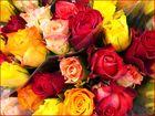 Rosen in allen Farben