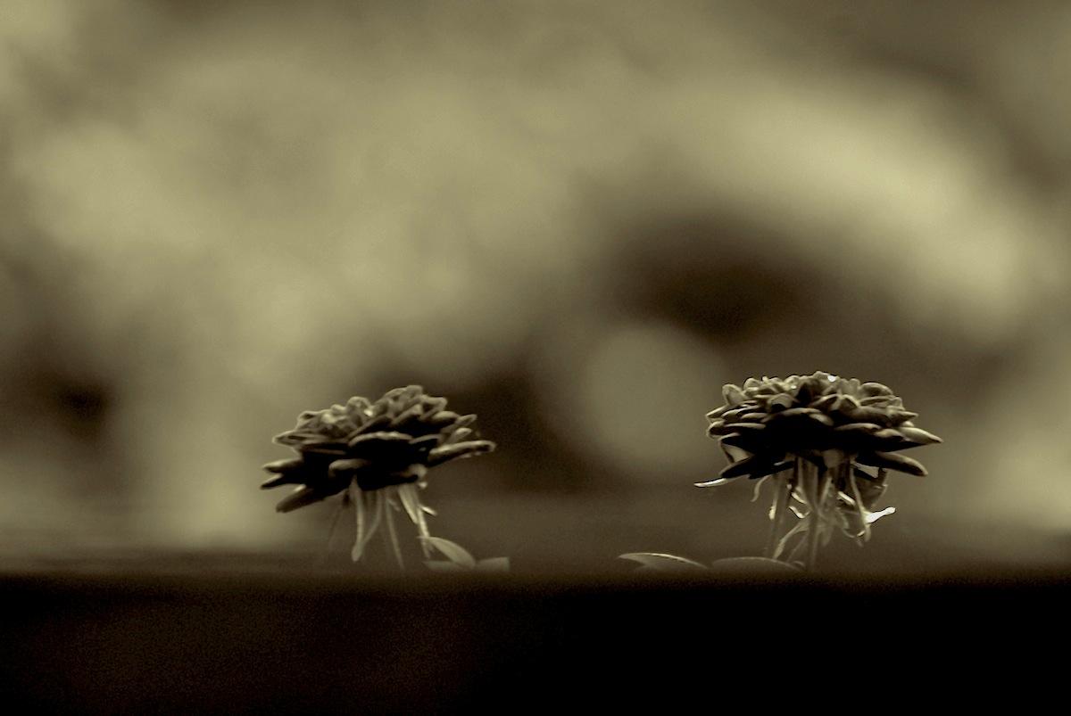Rosen in der Ferne