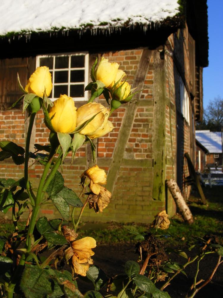 Rosen in der Wintersonne