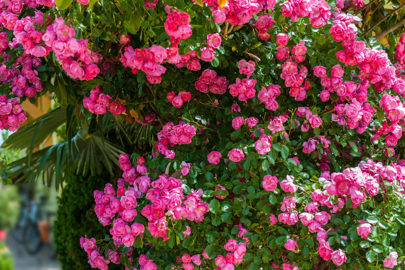 Rosen in Medjugorje