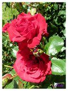 rosen in Nachbars Garten