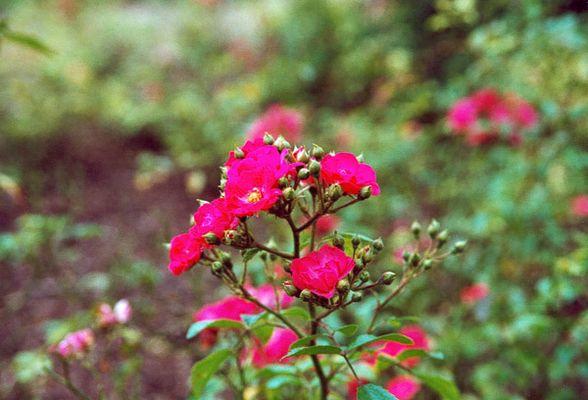 Rosen in Pink