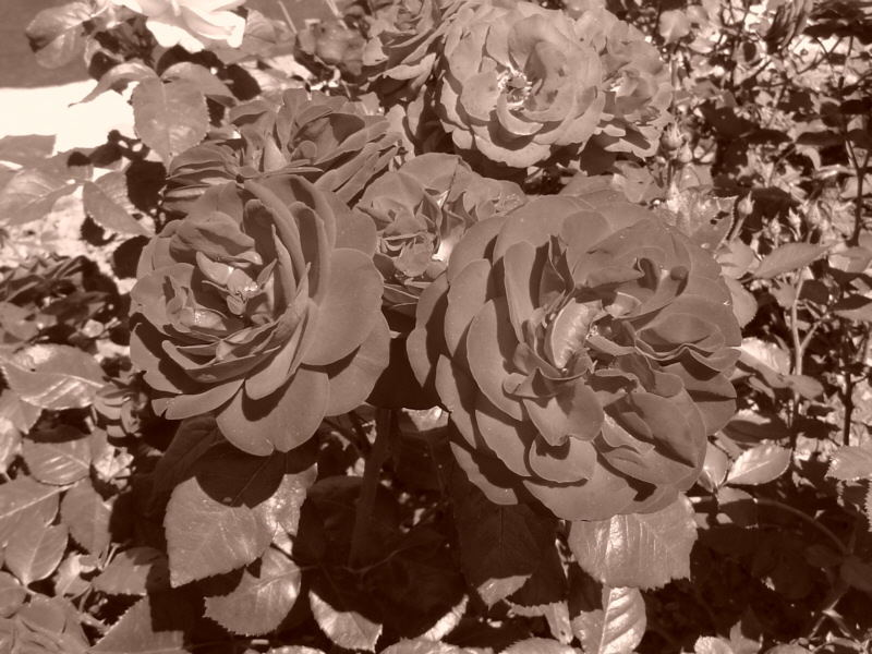 Rosen in sepia