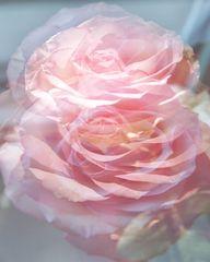 Rosen in Tanzrausch Rosas danzando