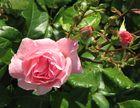 Rosen in unserem Garten 2