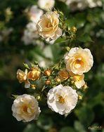 Rosen in unserem Garten