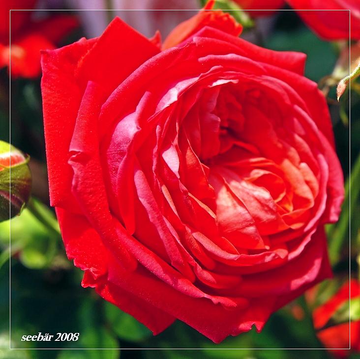 Rosen können Worte sein