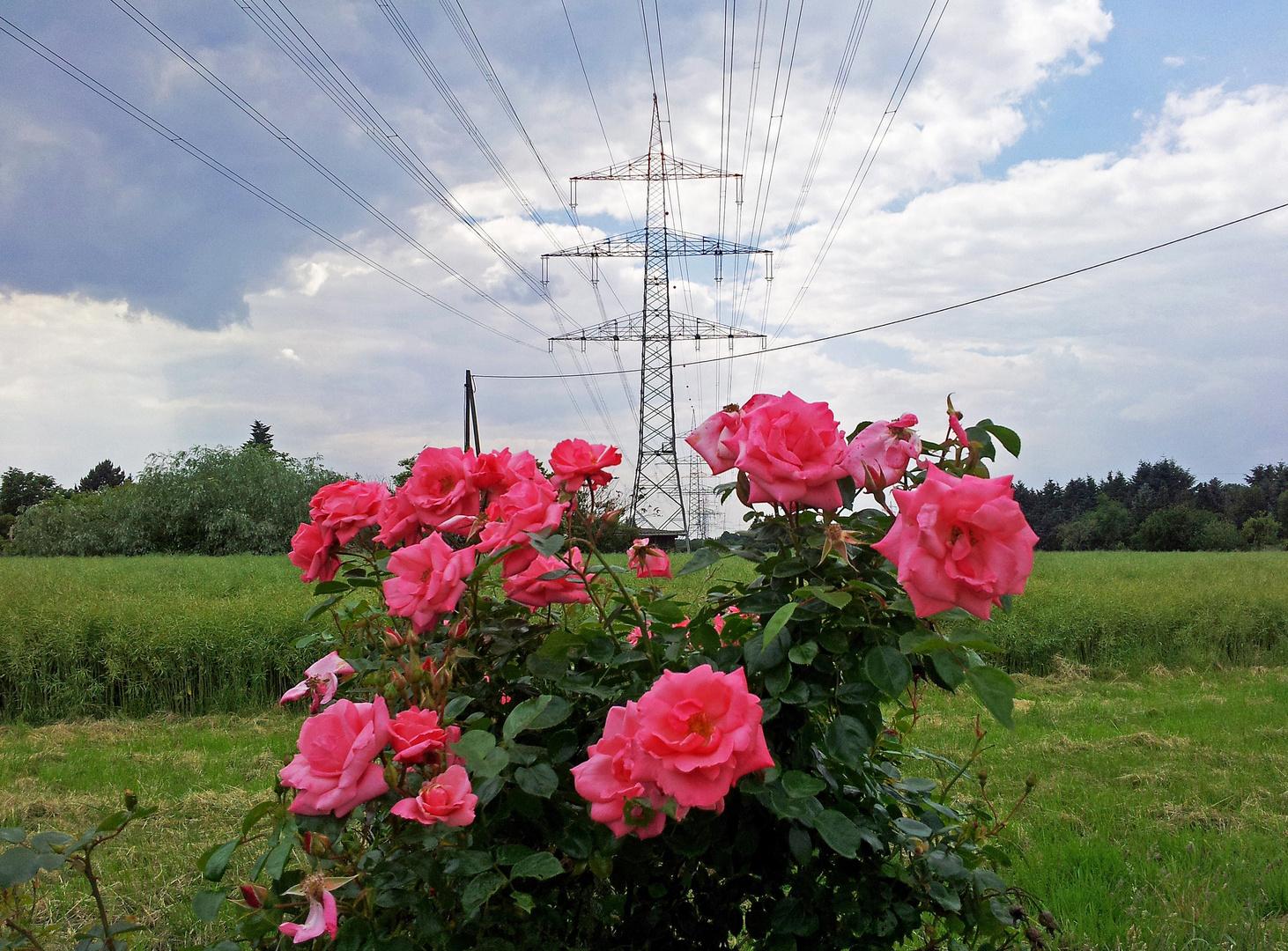 Rosen mit Stromtrasse