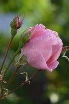 Rosen nach dem Regen