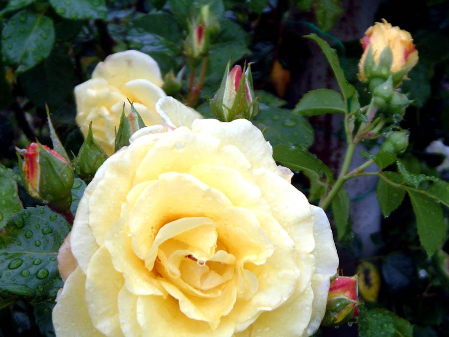 Rosen nach einem Regenschauer