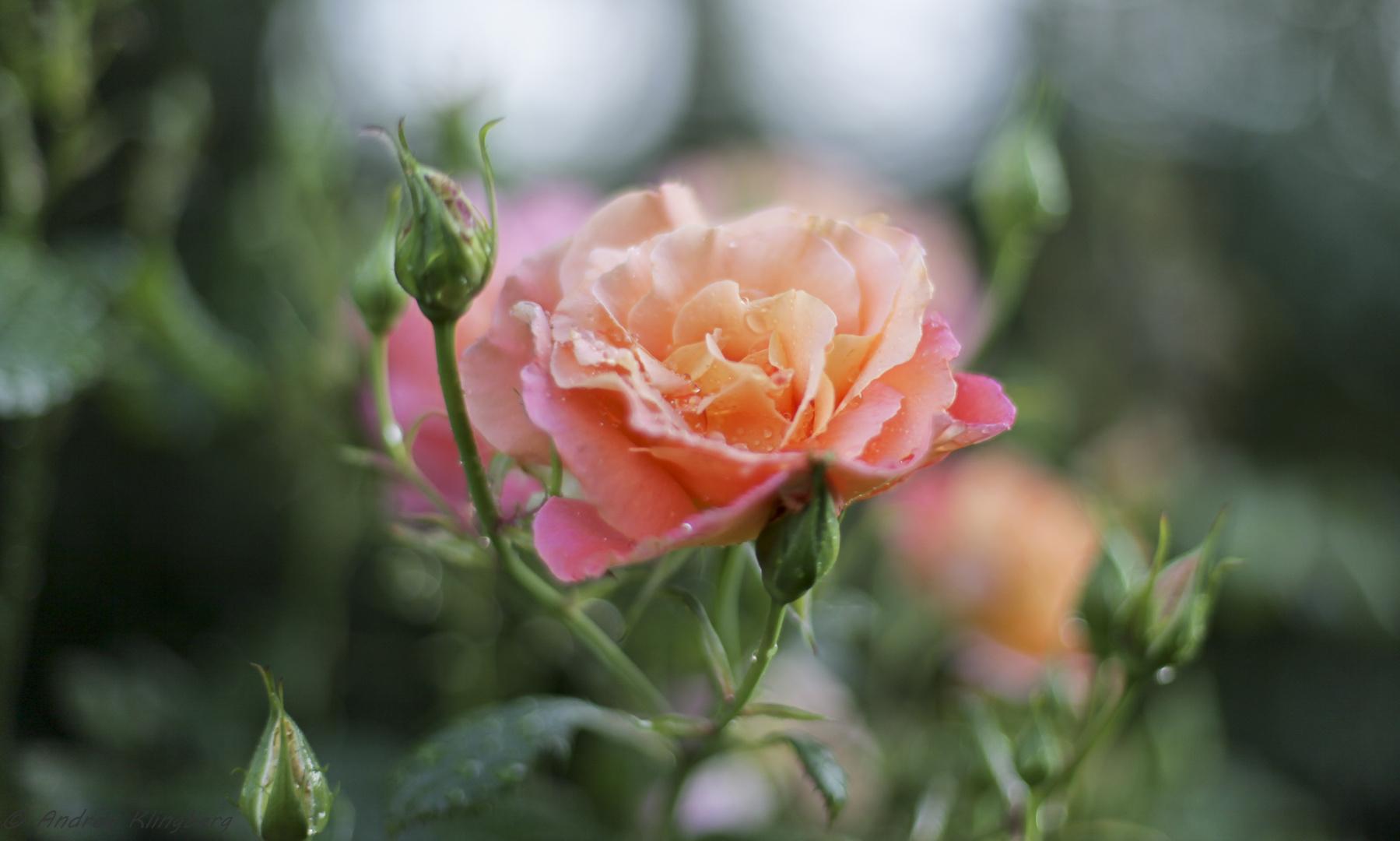 Rosen nach Sommerregen
