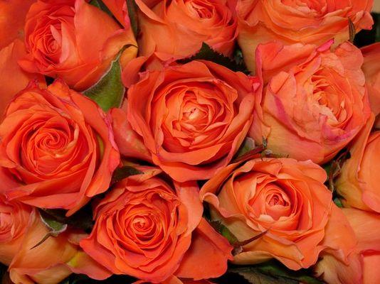 Rosen orange