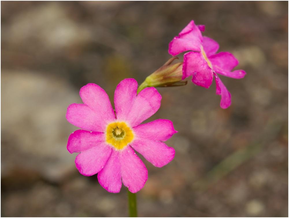 Rosen-Primel (Primula rosea)