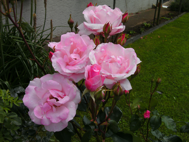 Rosen ( rosa )