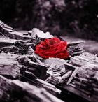 Rosen rot