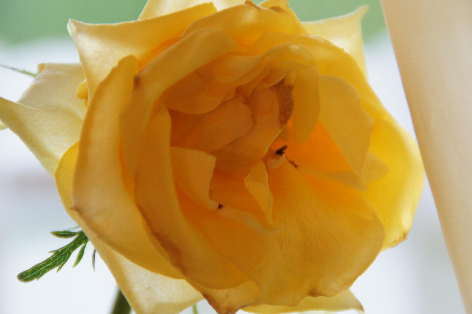 rosen sind gelb