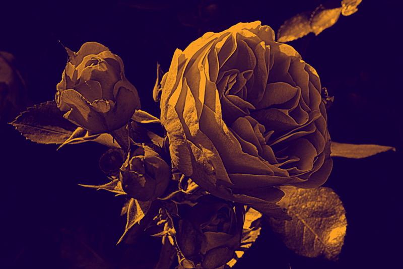 Rosen sind nicht immer rot