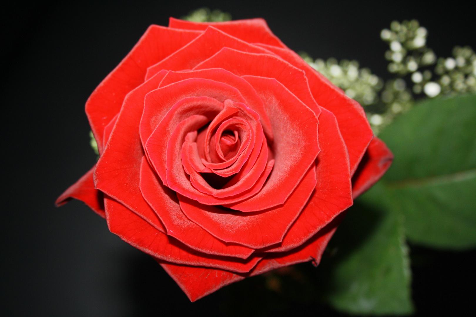 Rosen sind rot, ...