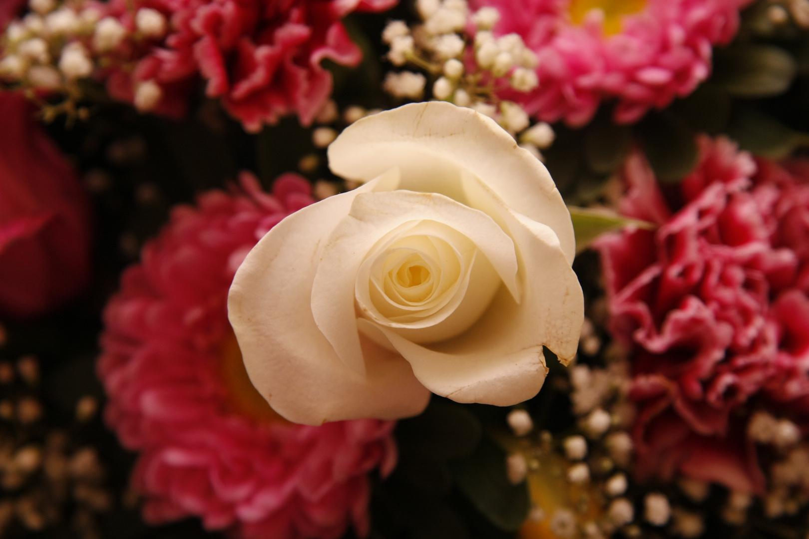 Rosen sind weiß...