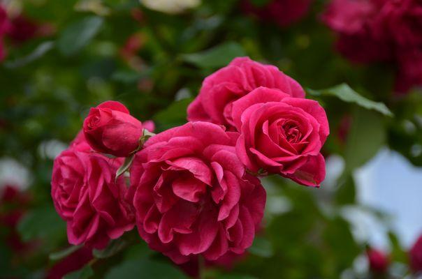 Rosen so rot