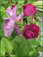 Rosen Tulpen und Narzissen alles darf die Mutter wissen.....