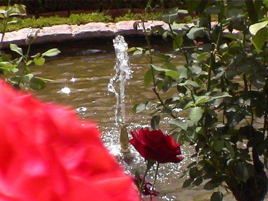 Rosen und Springbrunnen
