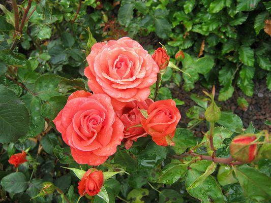 Rosen und Tränen