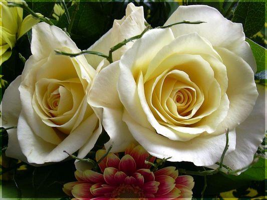 Rosen verzaubern uns immer wieder