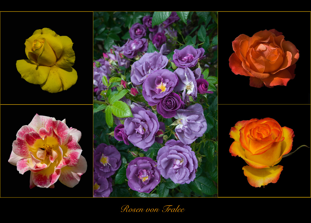 Rosen von Tralee