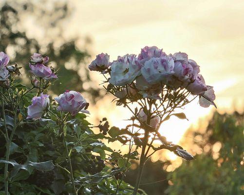 Rosen vor Abendsonne