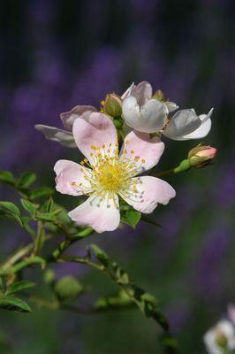 Rosen vor Lavendel